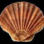 sea, shell, clam